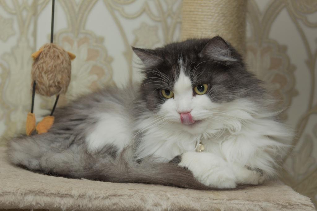 в каком возрасте кошка может забеременеть