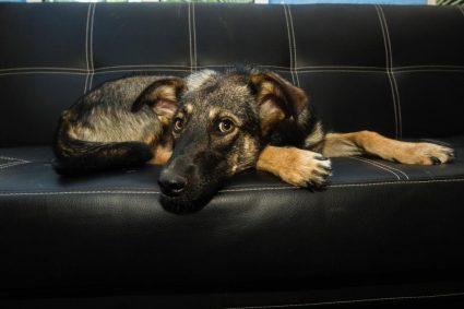 Кастрация и стерилизация собак — когда это действительно необходимо