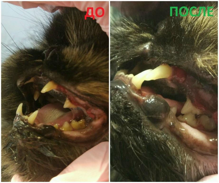 зубной камень у кота - фото