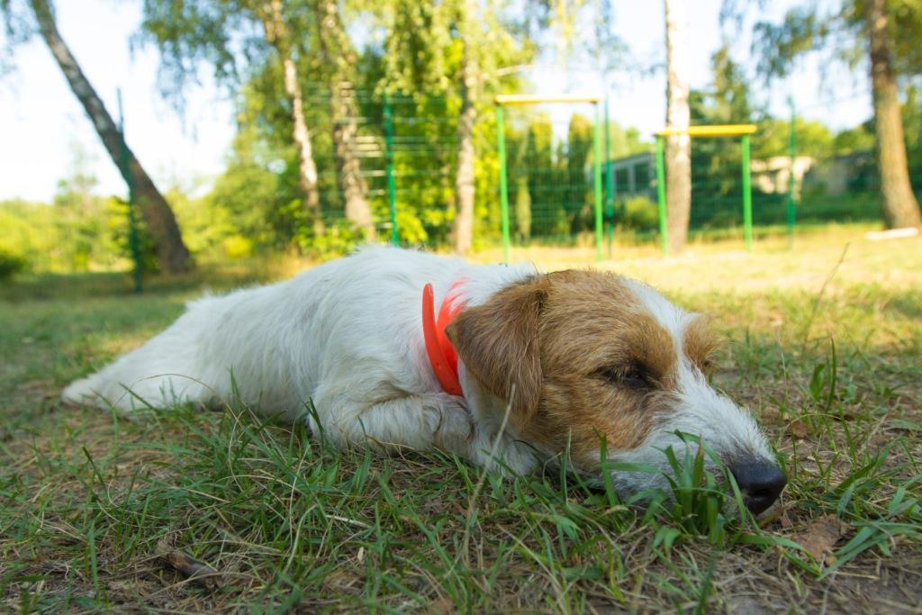 собака спит со скрученным животом что это значит