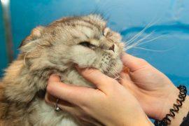 Почему коты мурлычут?