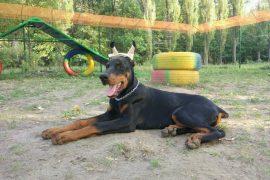 Обучение глухих собак: описание методики
