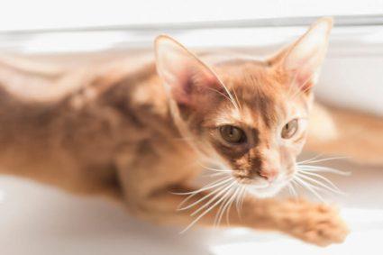 Почему коты приносят своих жертв домой