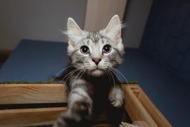 Как приучить котенка или кота пользоваться когтеточкой?