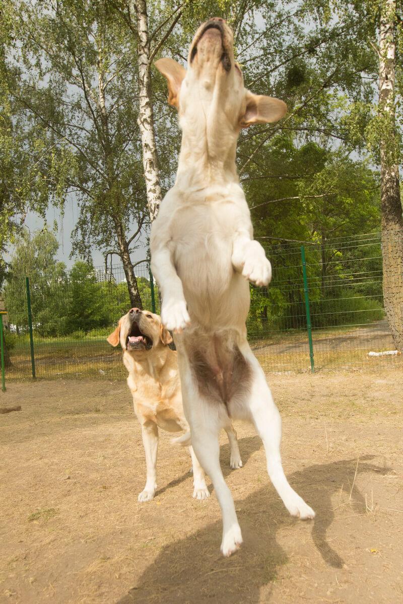 собака лает на гостей