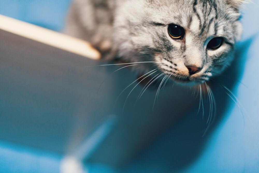 почему кошка мяукает ночью