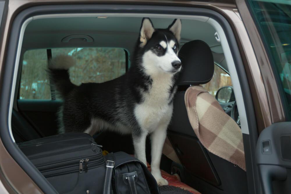 собака в машине как приучить питомца