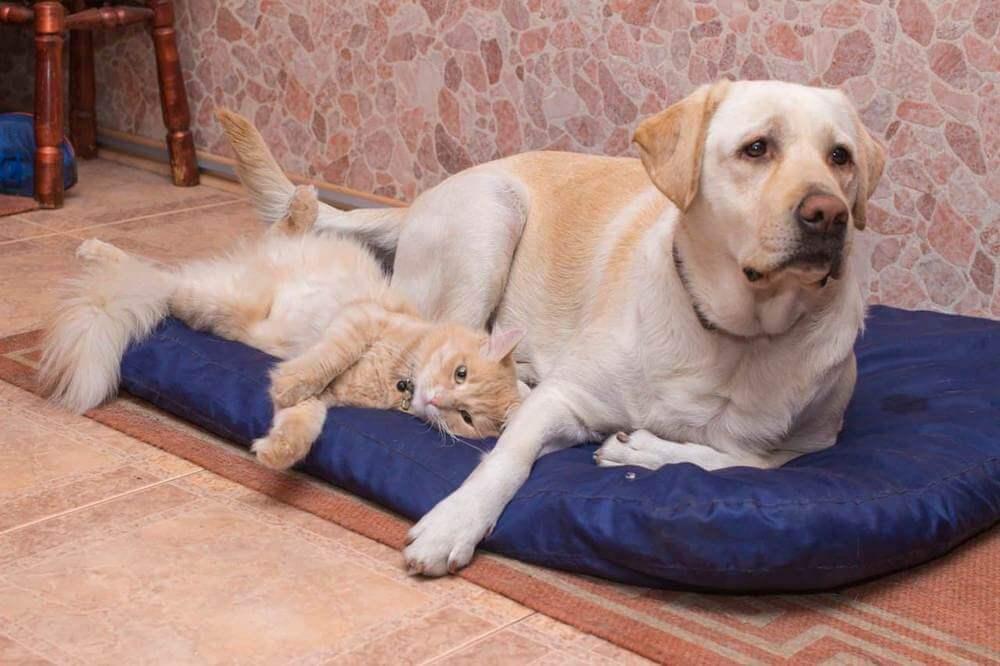 что нужно сделать чтобы кошка и собака ужились вместе